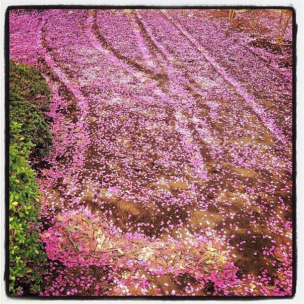 Beautiful Photograph - #spring #hanami #flower #japan #sakura by Yutaka Sawada