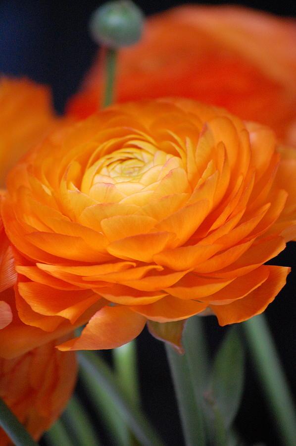 Flower Photograph - Spring Orange by Dickon Thompson