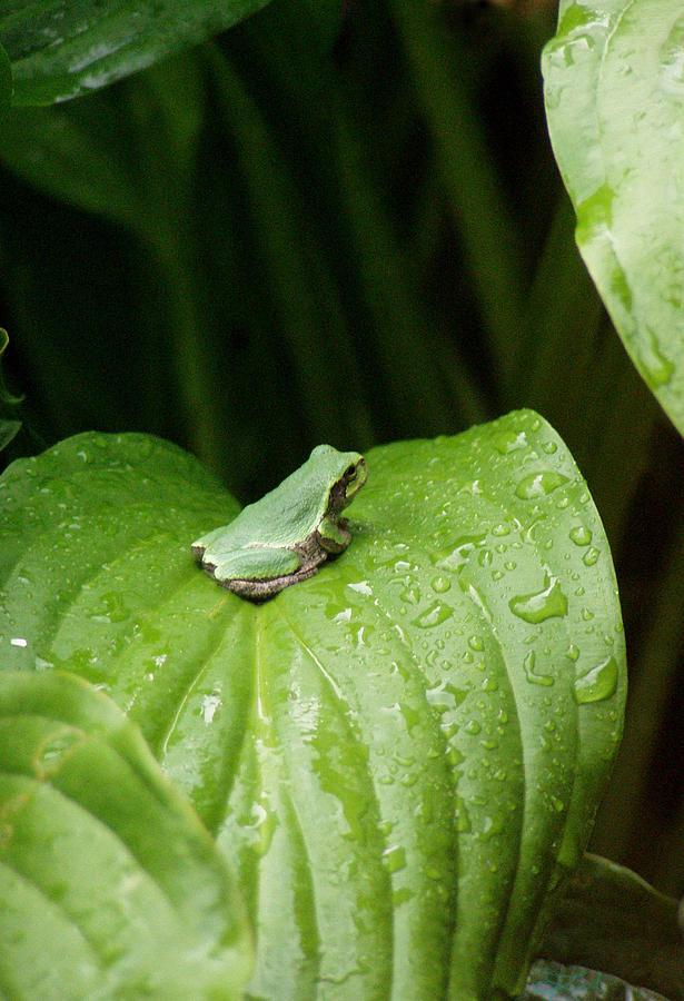Spring Peeper Photograph - Spring Peeper by Jon Lord