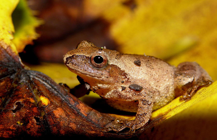 Frog Photograph - Spring Peeper On Fall Leaves by Griffin Harris