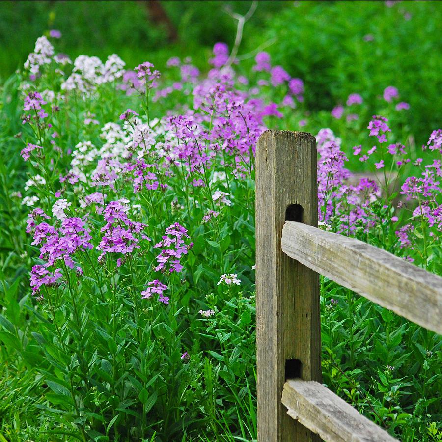 Phlox Photograph - Spring Phlox 6074 by Michael Peychich