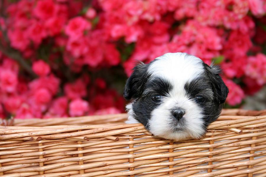 Shih-tzu Photograph - Spring Puppy  by Darren Fisher