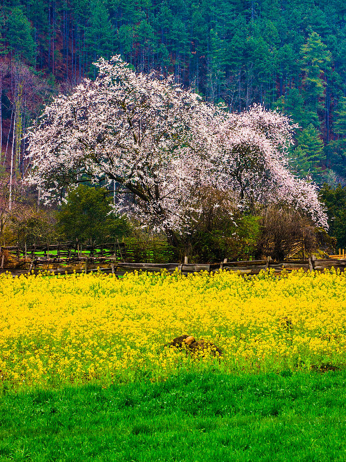 Spring Scenery In Bome Tibet Photograph By Feng Wei