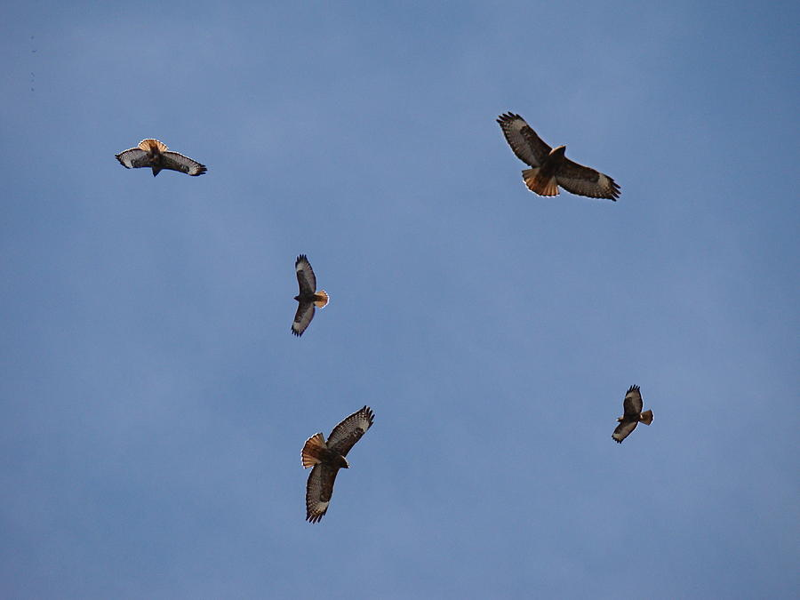Red-tailed Hawk Photograph - Spring  Territorial Ritual by Nick Kloepping