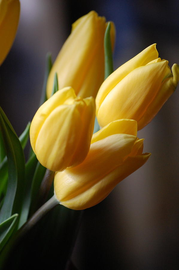 Flower Photograph - Spring Tulips - Yellow by Dickon Thompson