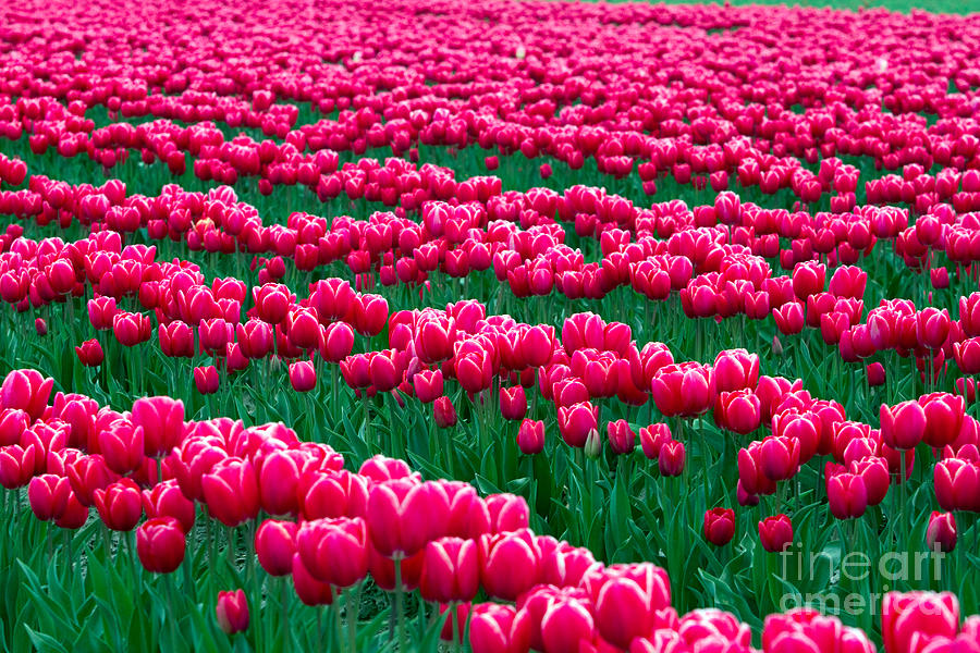 Skagit Valley Photograph - Spring Tulips by David R Frazier and Photo Researchers
