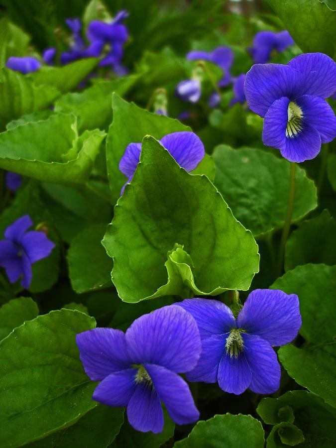 Spring Digital Art - Spring Violets by Yvonne Scott