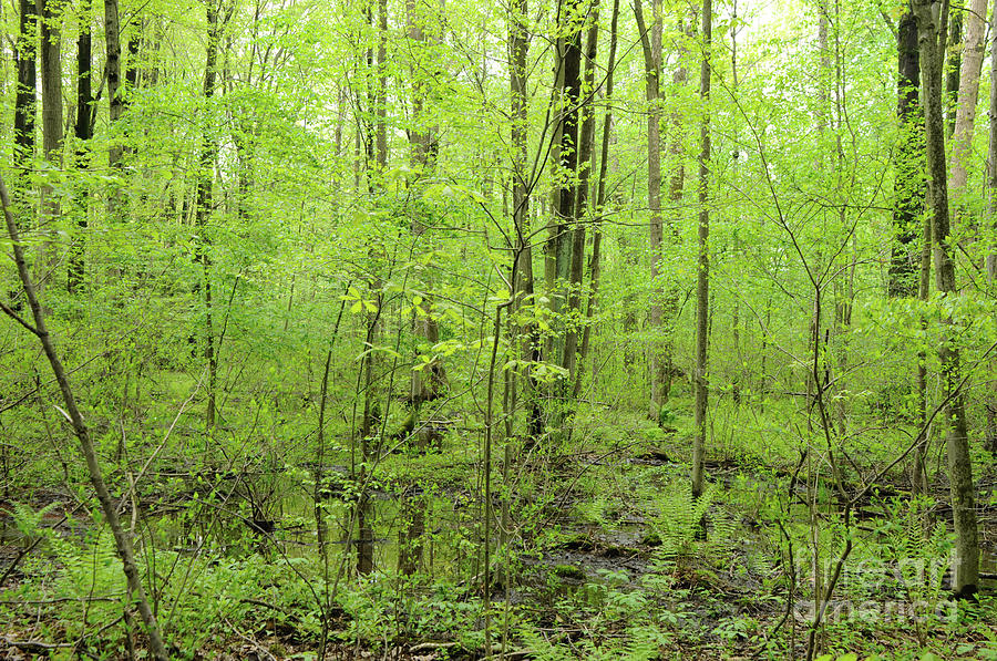 Woods Photograph - Spring Woods by Ronald Grogan