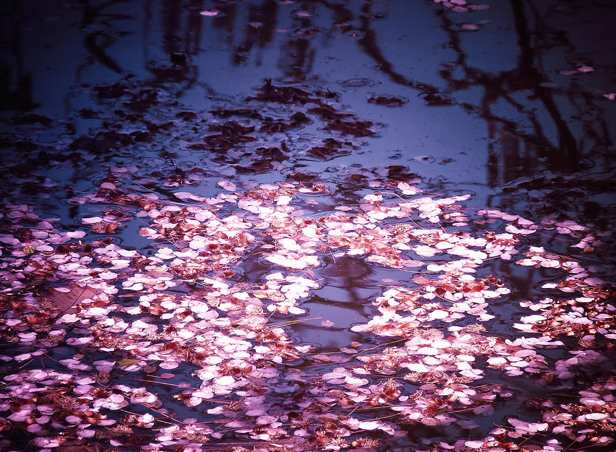Cherry Blossom Photograph - Springs Embers - Cherry Blossom Petals On The Surface Of A Pond by Vivienne Gucwa