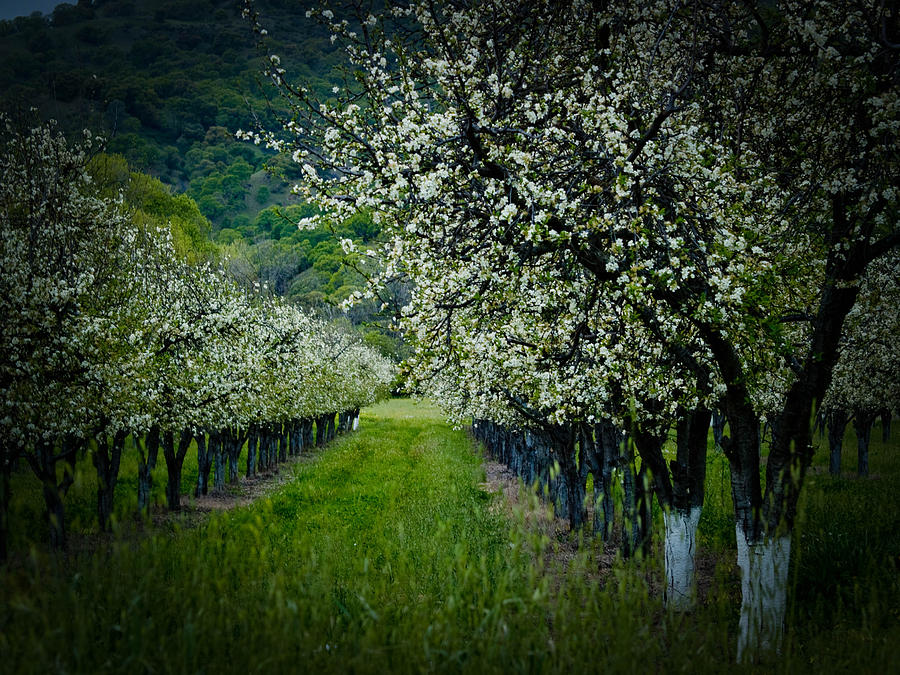 Spring Photograph - Springtime In The Orchard II by Bill Gallagher