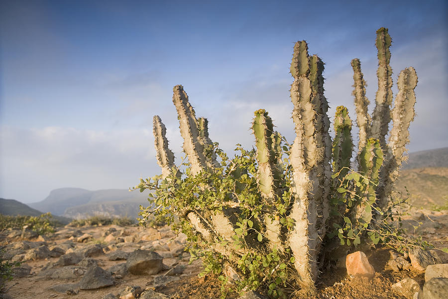 Spurge Cactus On Plateau Hawf Protected Photograph by Sebastian Kennerknecht