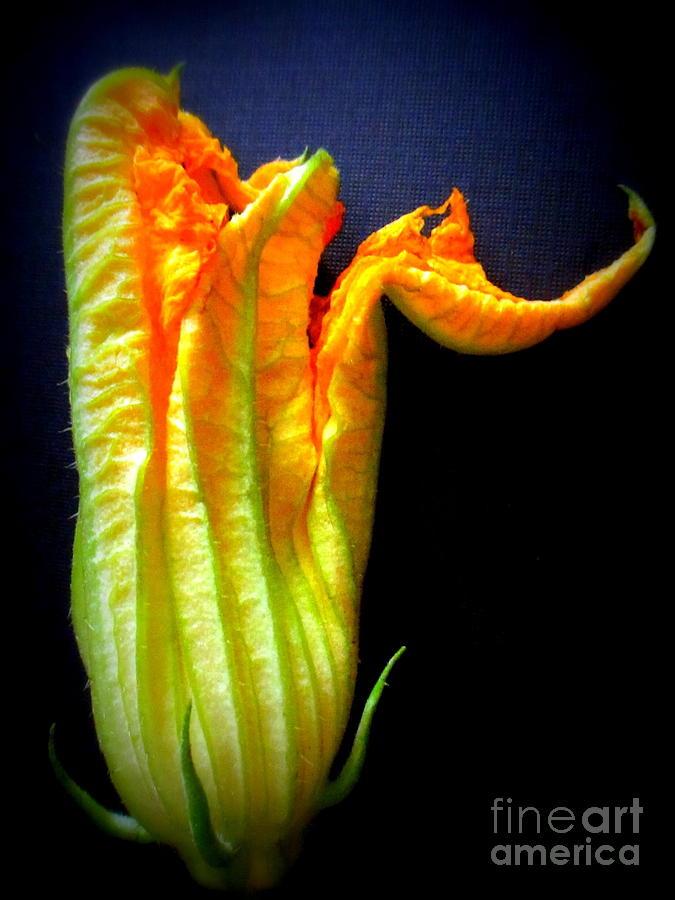 Zucchini Photograph - Squash Blossom by Maria Scarfone