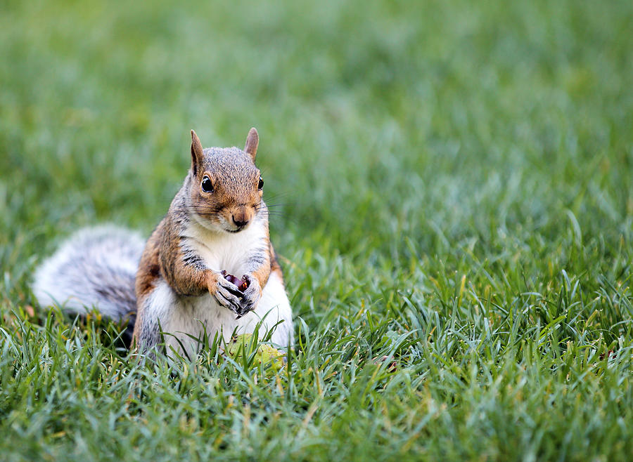Animal Photograph - Squirrel by Paul Fell