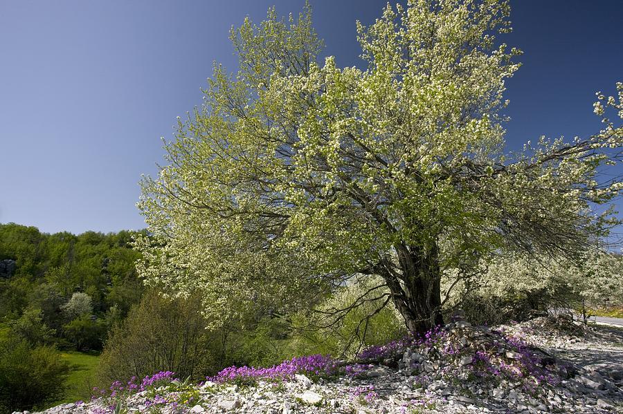 St Lucie Cherry Photograph - St Lucie Cherry Tree (prunus Mahaleb) by Bob Gibbons
