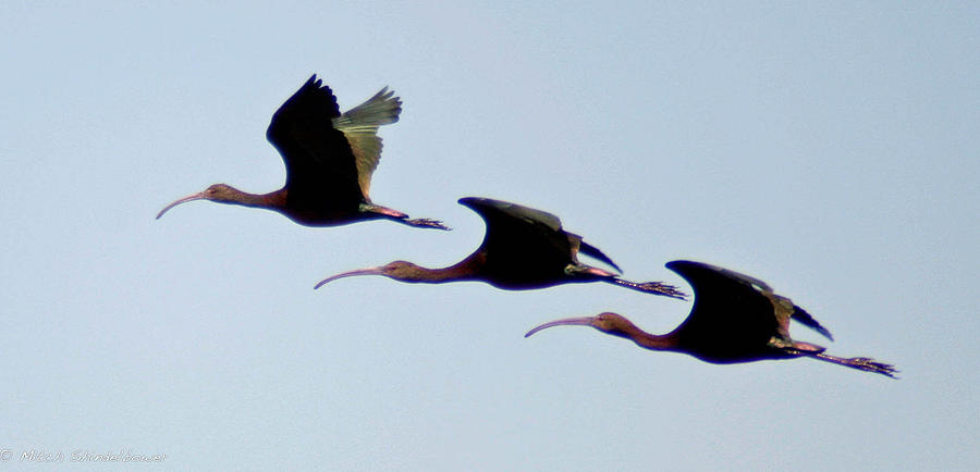 Birds Photograph - Stacked Ibis by Mitch Shindelbower
