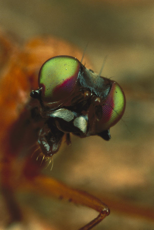 Stag Fly Phytalmia Cervicornis Small Photograph by Mark Moffett