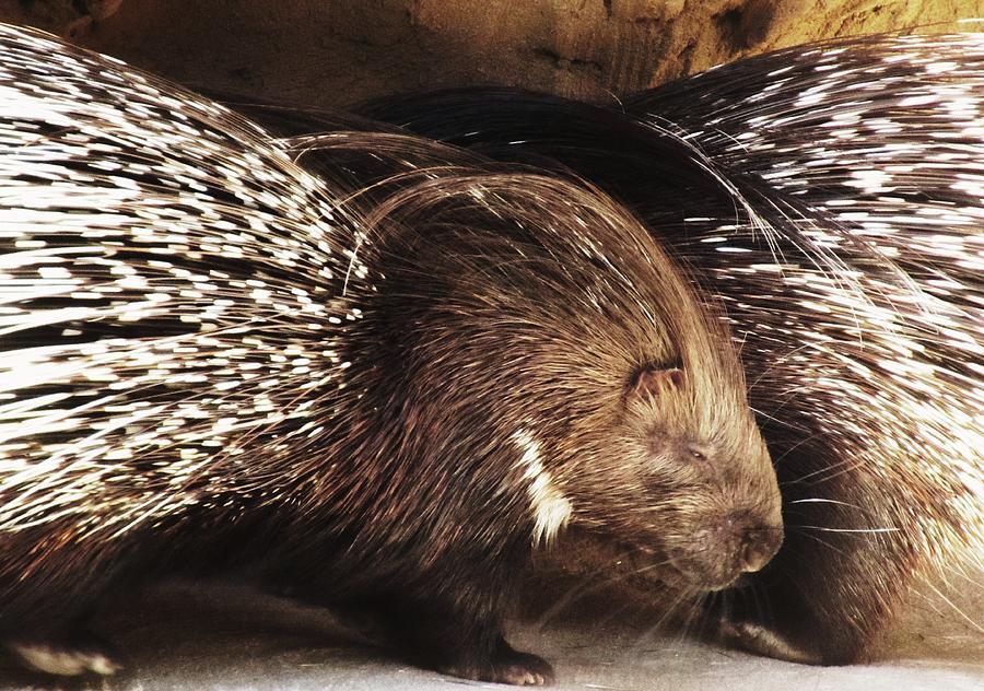 Porcupine Photograph - Standback by Todd Sherlock