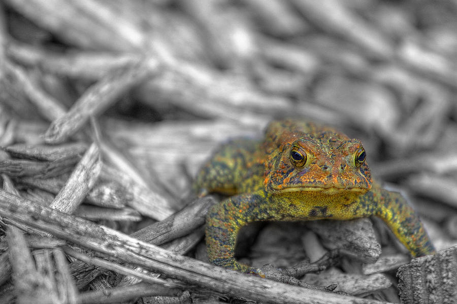 Toad Photograph - Standing His Ground by Randy Steele