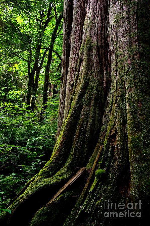 Stanley Park Photograph - Stanley Park Trees 1 by Terry Elniski