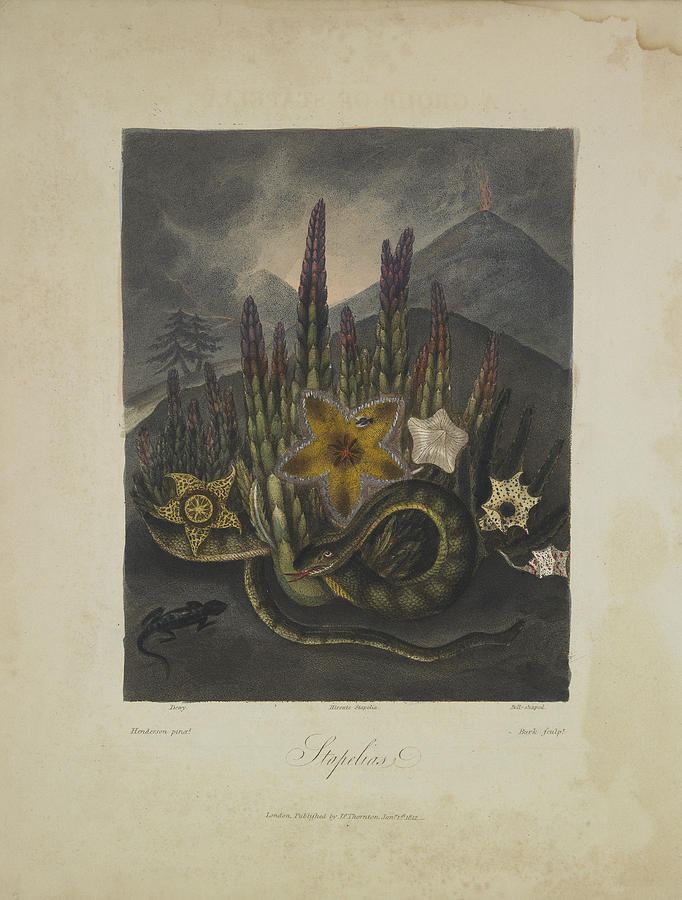 Thornton Drawing - Stapelius by Robert John Thornton