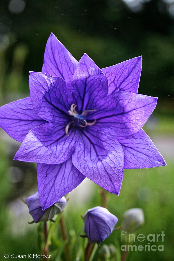Floral Photograph - Star Balloon Flower by Susan Herber
