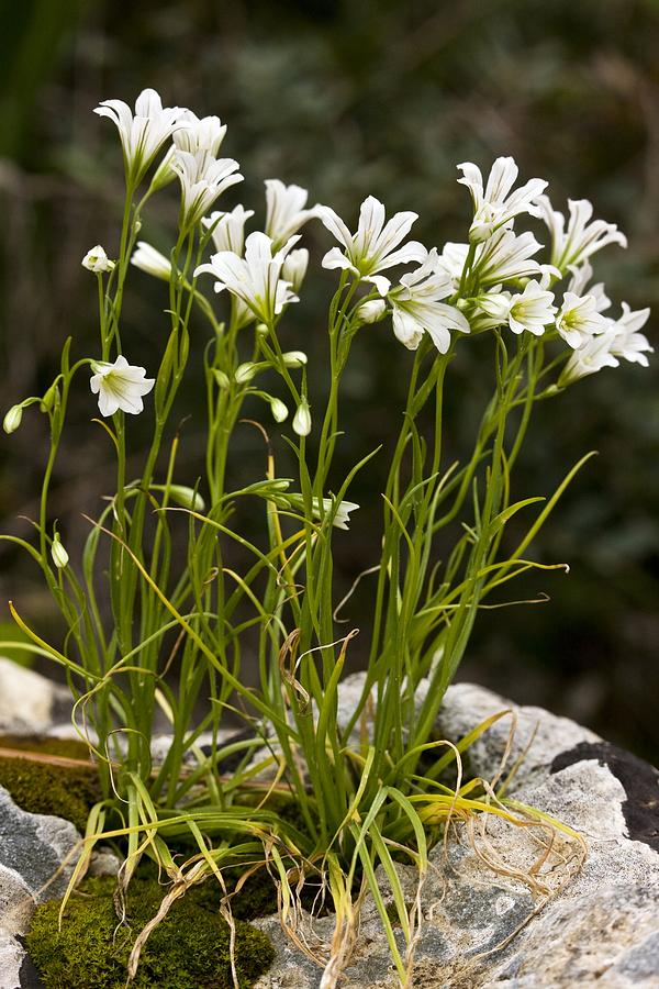 Star Of Bethlehem Photograph - Star-of-bethlehem (gagea Graeca) by Bob Gibbons