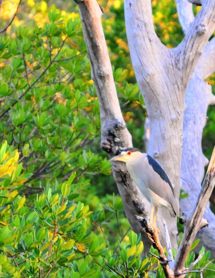 Great Blue Heron Digital Art - Stares by Barry R Jones Jr