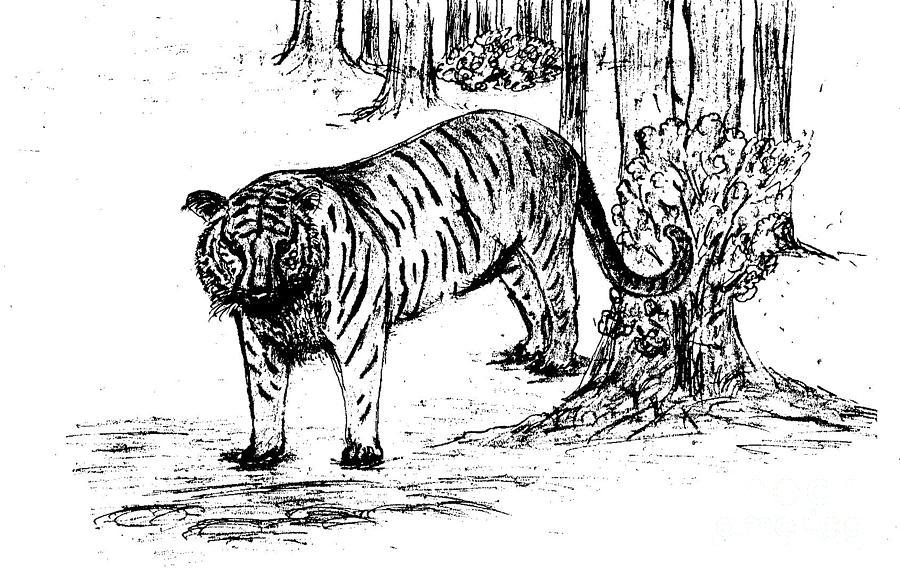 Nature Drawing - Staring Tiger by Mashukur  Rahman