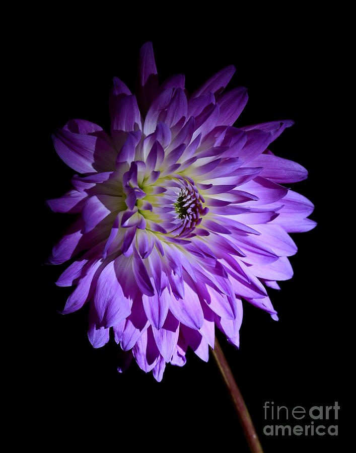 Dahlia Photograph - Starlight Star Bright by Inspired Nature Photography Fine Art Photography