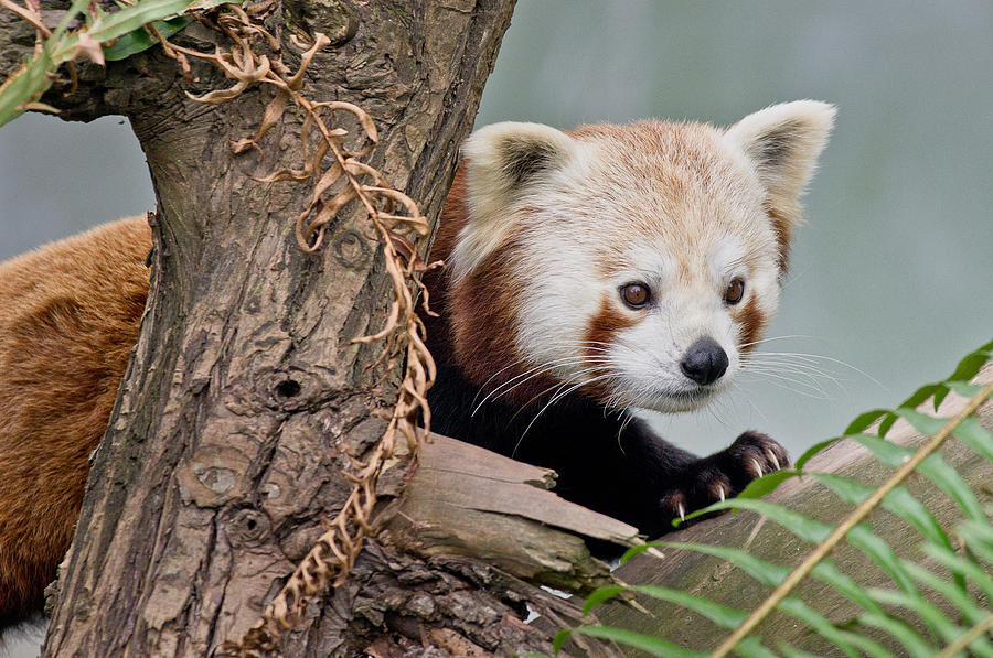 Critter Photograph - Stealthy Red Panda by Greg Nyquist