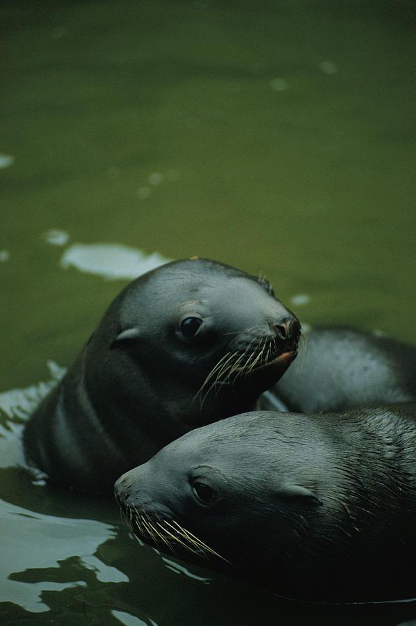 Animals Photograph - Steller Sea Lion Pups Eumetopias by Joel Sartore
