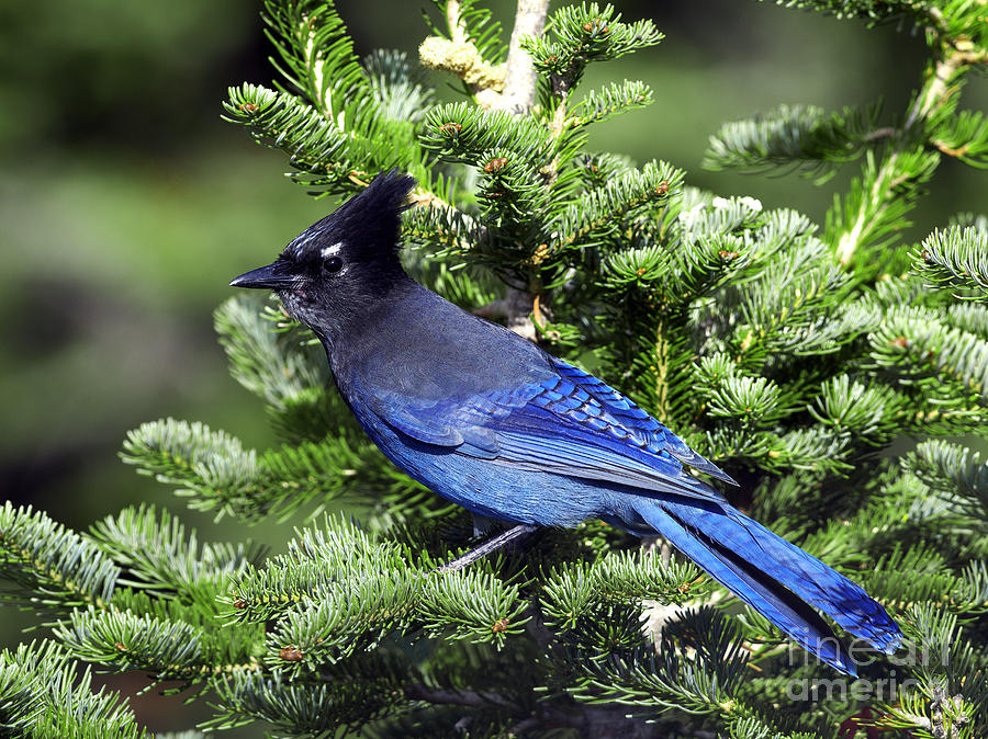 Bluejay Photograph - Stellers Jay by Sharon Talson
