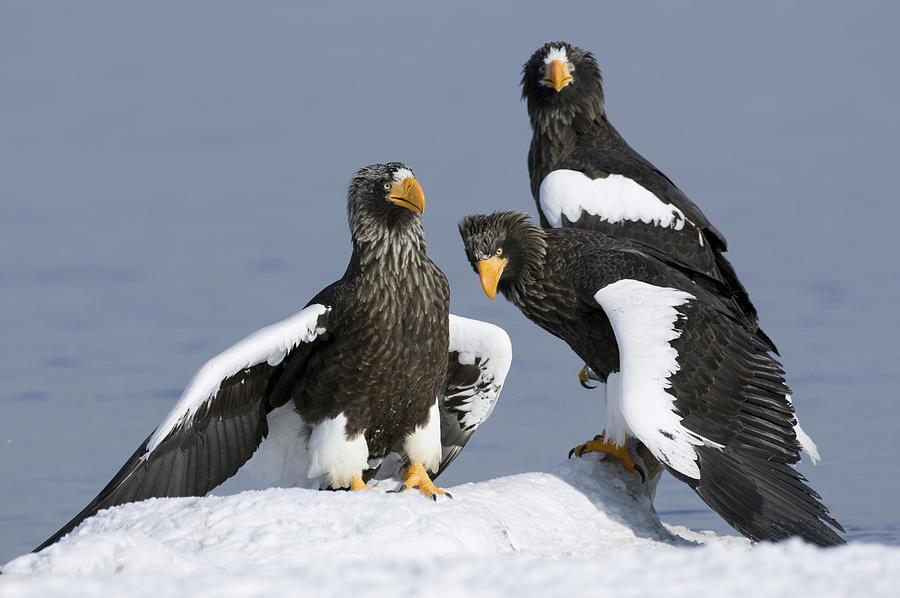 Stellers Sea Eagle Trio Photograph by Sergey Gorshkov