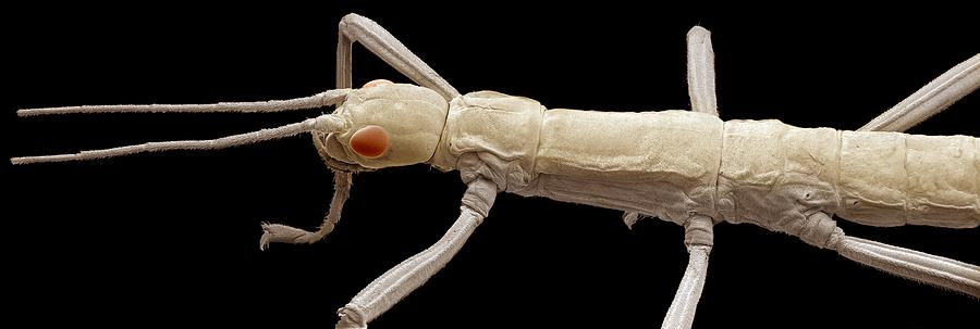 Animal Photograph - Stick Insect, Sem by Steve Gschmeissner