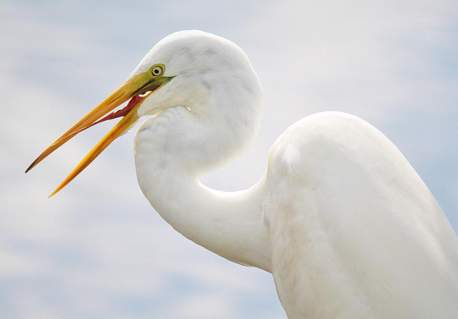 Great White Egret Photograph - Sticking Out His Tongue by Paulette Thomas