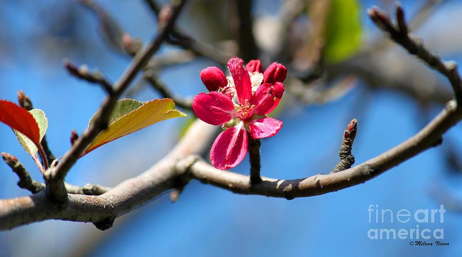 Pink Flower Photograph - Still Here... by Milena Ilieva