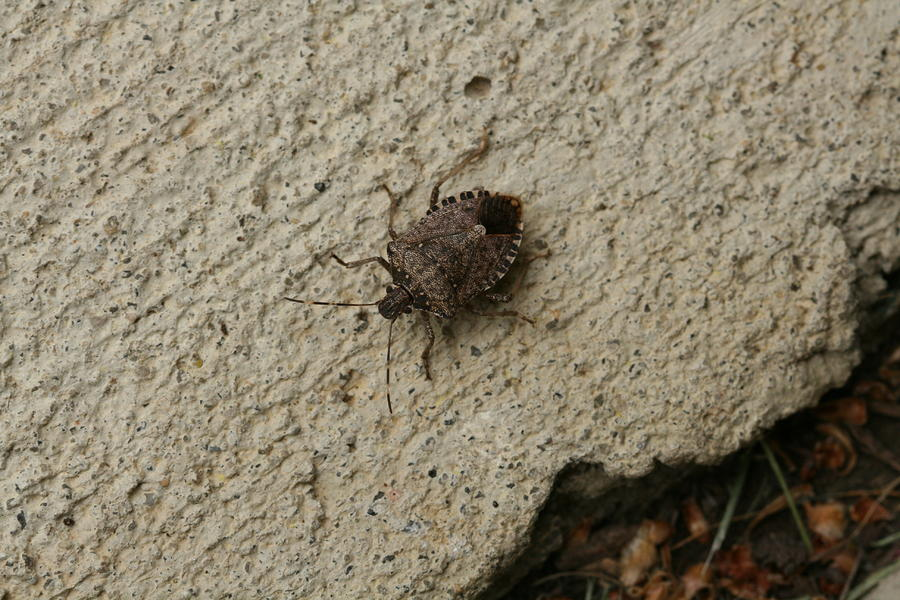 Stinkbug Photograph - Stinkbug Catch And Release by Bonnie Boden
