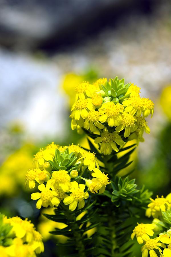 Angiosperms Photograph - Stonecrop (sedum Middendorffianum) by Dr Keith Wheeler