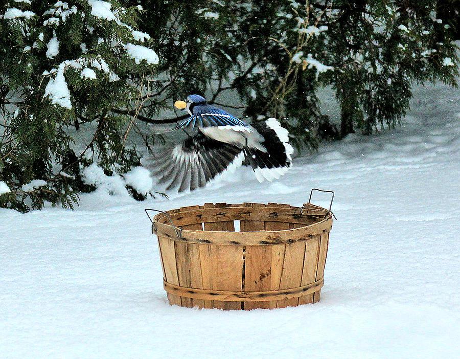 Blue Jay Photograph - Stop Thief by Matthew Winn