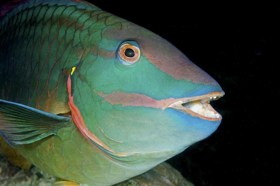 Stoplight Parrotfish Photograph - Stoplight Parrotfish by Clay Coleman