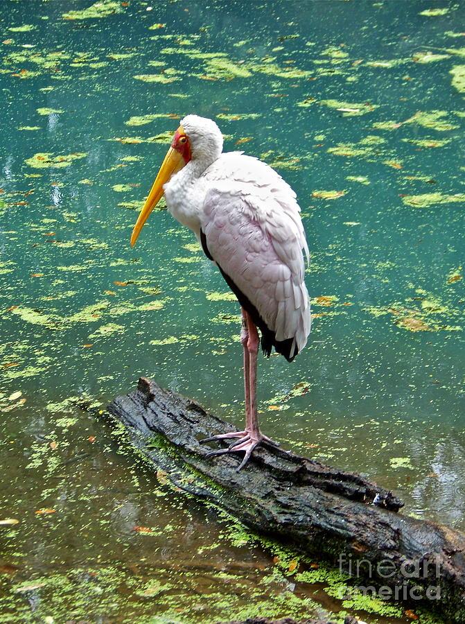 Stork Photograph - Stork by Carol  Bradley