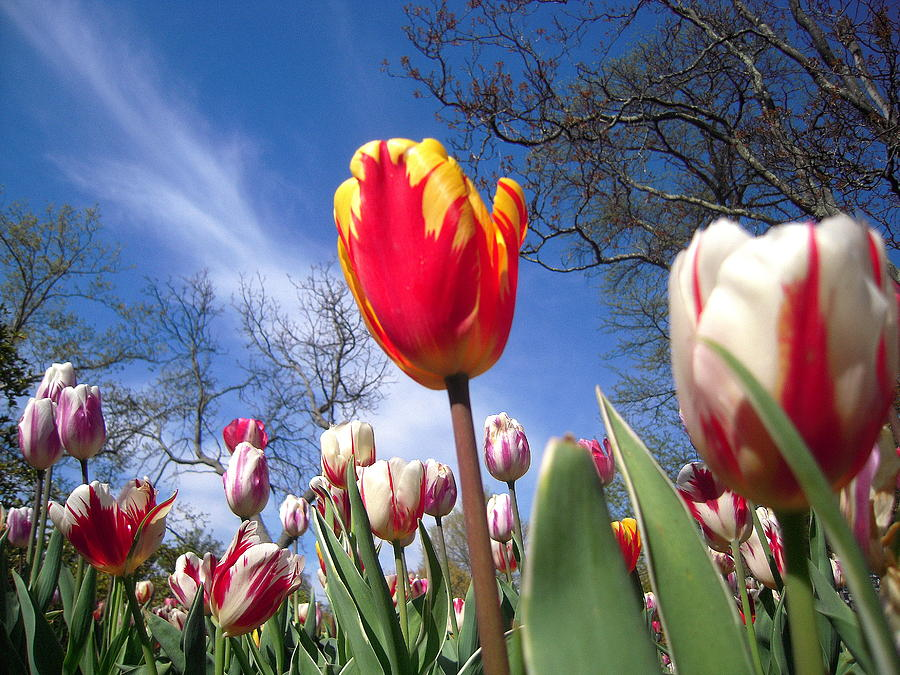 Tulips Photograph - Strato Cirrus Clouds Greet The Tulips  by Don Struke