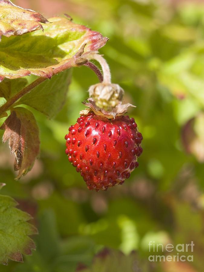 Strawberry Photograph - Strawberry by Steev Stamford