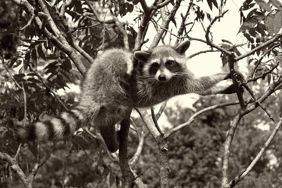 Racoon Photograph - Stretch by Nina Fosdick
