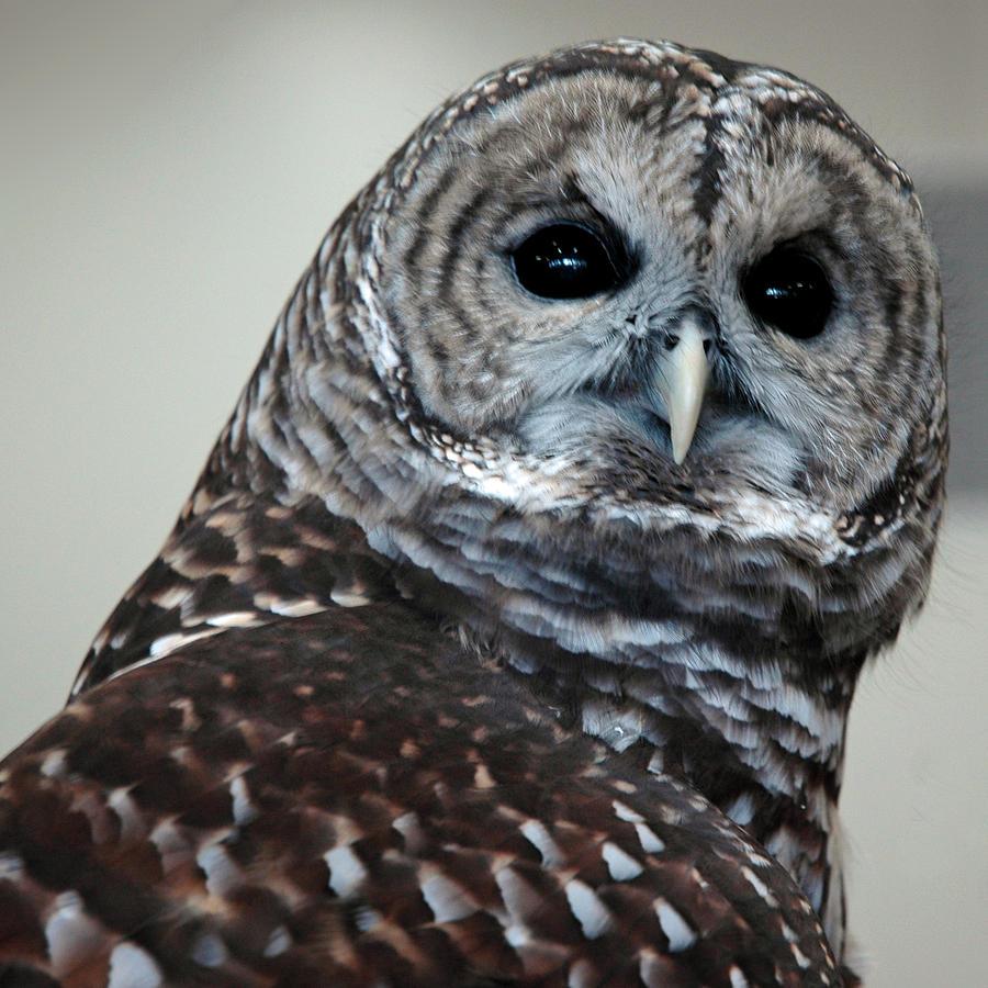 Usa Photograph - Striped Owl by LeeAnn McLaneGoetz McLaneGoetzStudioLLCcom