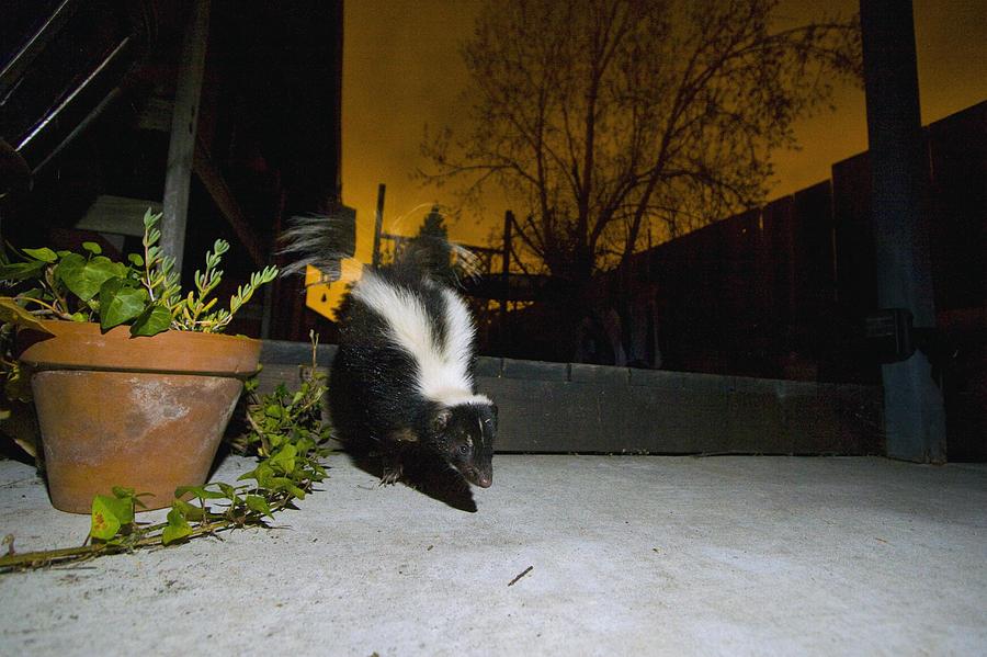 Striped Skunk In Backyard At Night Photograph by Sebastian ...