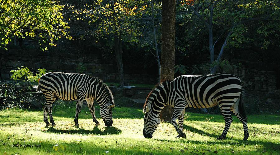 Zebra Photograph - Stripes by DiDi Higginbotham