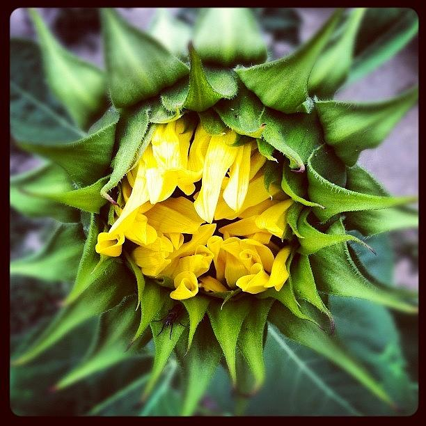 Sunflower Photograph - Stuck In The Middle by Gwyn Newcombe