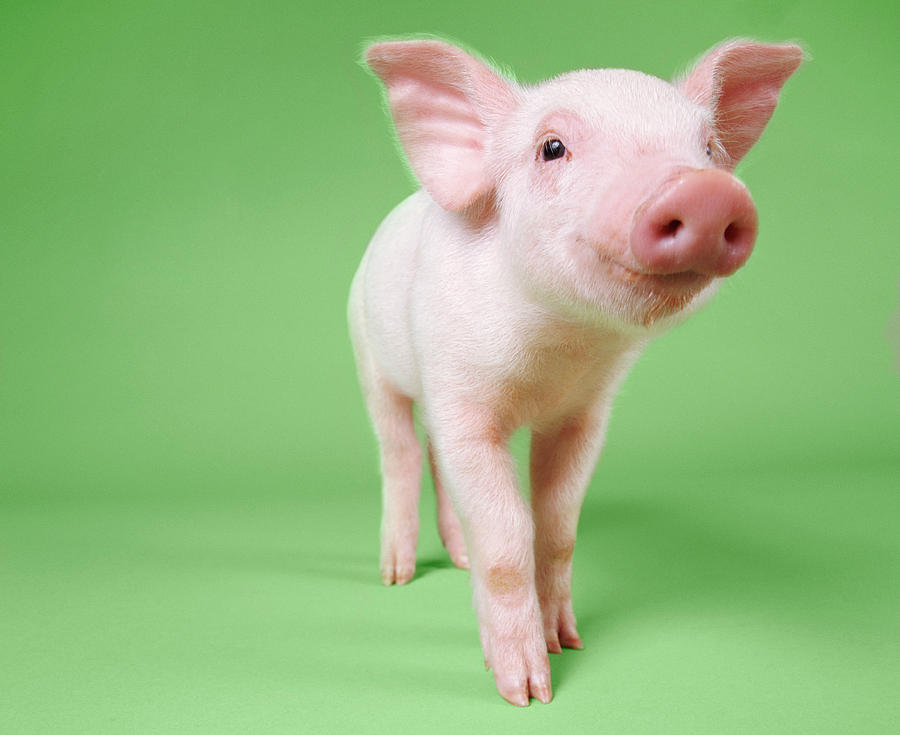 Horizontal Photograph - Studio Cut Out Of A Piglet Standing by Digital Vision.