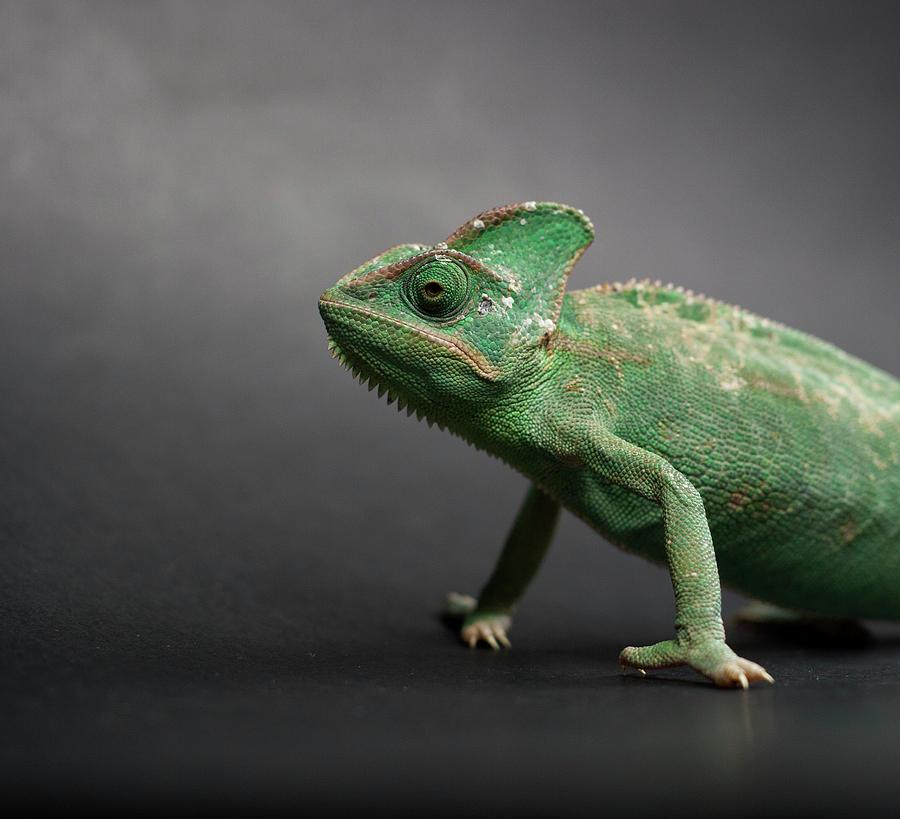 Horizontal Photograph - Studio Shot Of Chameleon by Sarune Zurba